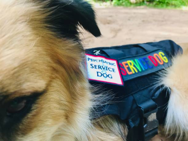 Mental Health Service dog with black working vest and Post traumatic stress disorder tag. The dog is a Black and tan mixed breed Australian Shepard/Husky and he is happily training or working outdoors with his owner.