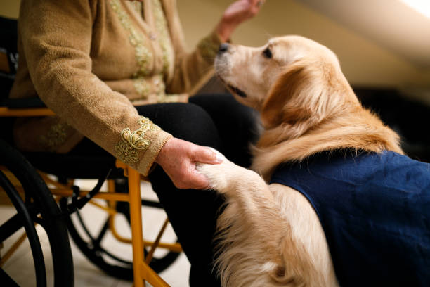 Golden retriever in service dog vest puts paw in hand of woman in wheelchair.