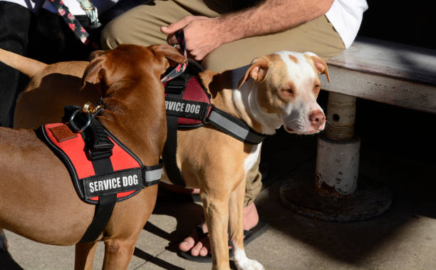 2 brown dogs wearing red service dog vests.